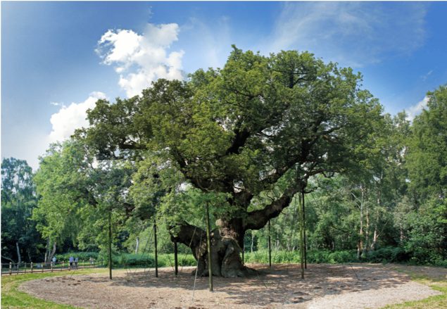 The Major Oak endures in Sherwood Forest, Nottinghamshire, England, now grown so large that it has to be propped up by artificial means, namely many metal poles.